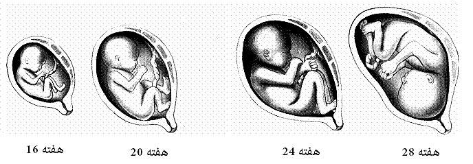 مراحل رشد جنین وقتی به سه ماهه دوم می رسیم