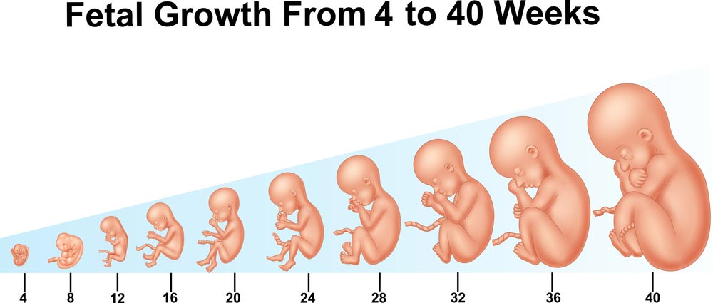 از هفته چهارم تا چهلم جنین